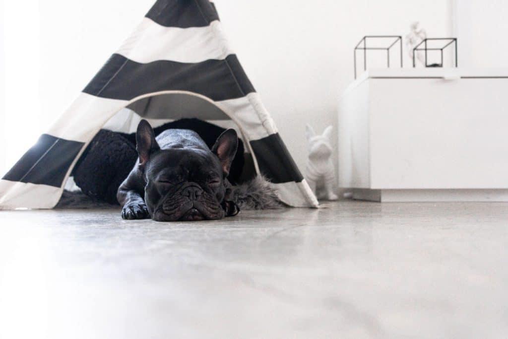 Ein Hunde Tipi mit einer französische Bulldogge